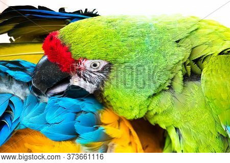 A Bright Green-colored Macaw Parrot Cleans The Feathers Of His Partner