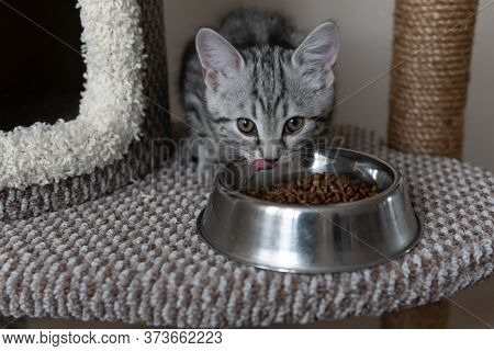 Small Grey Striped Kitten Eating Form The Plate On The Cats Tree In The Living Room. Selective Focus