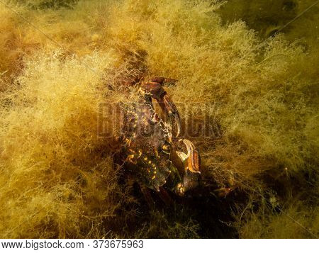 A Crab Pictured In A Shore Dive At On, Limhamn, Malmo. Scuba Diving In Oresund, The Water Between Sw