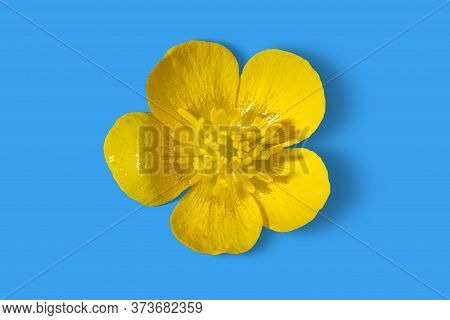 Yellow Buttercup Flower Isolated On Light Blue Background, Front Macro View