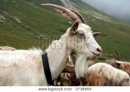 Goat In Mountain In A Cloudy Day