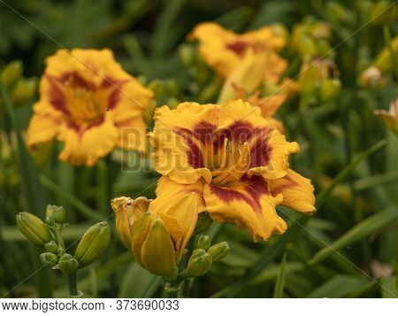 Closeup Of A Large Yellow And Orange Hemerocallis Day Lily Blooming In A Garden