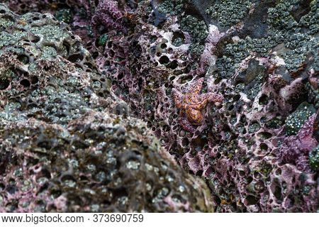 Close Up Of An Orange And Purple Ochre Sea Stars Exposed By The Low Tides Clinging To A Rock In The