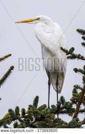 The Great Egret - Ardea Alba
