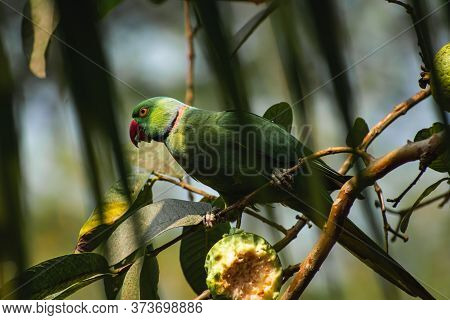 The Rose-ringed Parakeet, Also Known As The Ring-necked Parakeet, Is A Medium-sized Parrot In The Ge