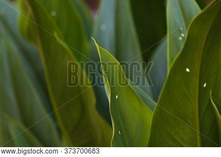 Tropical Green Broad Strelitzia Leaves Close-up, Pretoria, South Africa