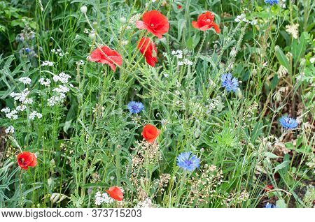 Blooming Wildflowers, Poppies, Cornflowers, Chervil, Shepherds Purse In An Uncultivated Meadow