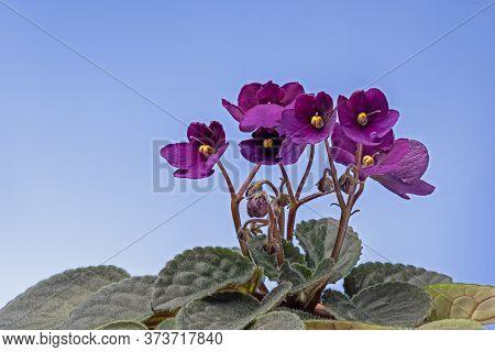 Purple Violet Viola Flowers On Blue Background