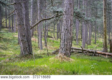 Green Pine Forest Nature. Ancient Green Forest. Nature. Pine Forest. Natural Environment. Forest Nat