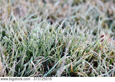 Frost Covered Grass In The Garden. The First Frosts