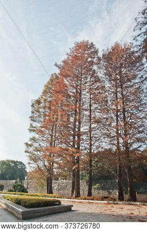 Multicolour Foliage Orange Red Yellow Breen Leaves Of Pine Trees In A Park In Tokyo Japan In Late Au