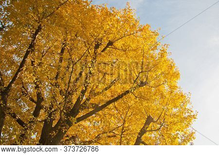Golden Leaves Foliage Gingko Maidenhair Trees In Late Autumn In Tokyo Japan