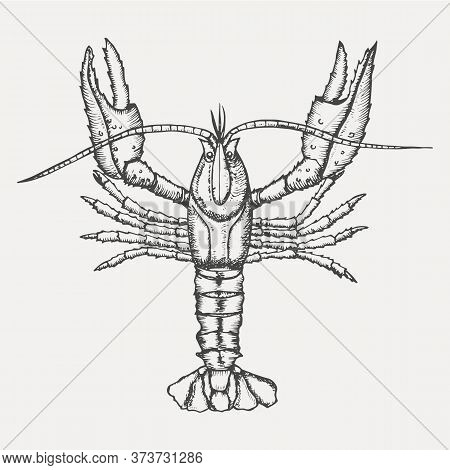 Crayfish Isolated On White Background. Hand Drawn Sketch In Vintage Engraving Style. Vector Illustra