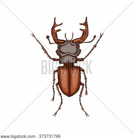 Stag Beetle Isolated On White Background. Hand Drawn Color Sketch In Vintage Engraving Style. Insect