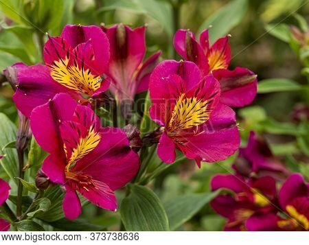 Closeup Of Pink And Yellow Flowers Of Alstroemeria Peruvian Lily, Variety Adonis, Flowering In A Gar