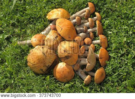 A Set Of Red Cap Boletus On Green Grass Background. Edible Fungus Leccinum Aurantiacum With Orange C