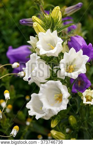 Blue And White Campanula Canterbury Bells Flowers In Full Bloom In Summer Cottage Garden