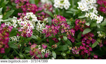 Lobularia Maritima Sweet Alyssum Royal Carpet Flowers In Summer Garden