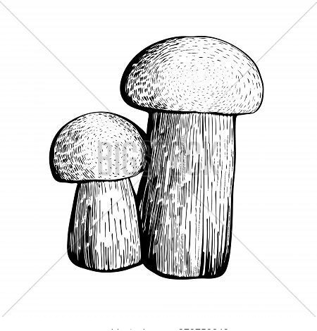 Boletus Mushroom Isolated On A White Background. An Edible Sponge Mushroom With A Stem And Cap. Deli
