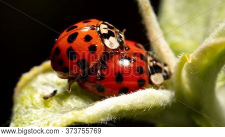 Close-up Of Two Ladybugs Making Love In Nature. Macro