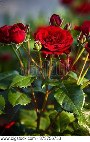 Beautiful Red Roses, With A Fragrant Smell, Have Green Leaves And Sharp Ears On The Stems, Lit By Th