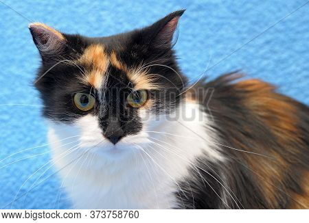 Three-colored Cat  On Sofa At Home Close Up