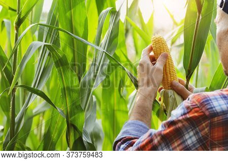 Middle Age Caucasian Farmer In Cap Hold Fresh Organic Corn Cobs In His Hands Somewhere In Ukraine. H