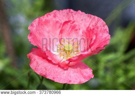 Pretty Pink Poppy In Full Bloom With Good Detail Of Stamen, Against A Natural Out Of Focus Green Bac