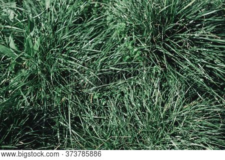 Green Grass Close-up, The Texture Of Blades Of Grass. Macrophotography Of Grass In Spring.