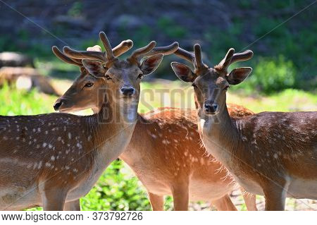 Beautiful Animal In A Wild  Nature. Fallow Deer (dama Dama) Colorful Natural Background