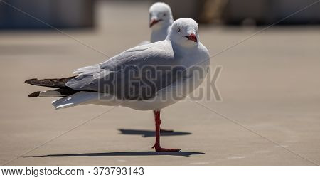 Two Seagulls Standing On Concrete And Looking At The Camera.the Second Seagull Is In Soft Focus In T