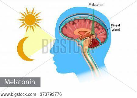 Melatonin Hormone. Pineal Gland Anatomical Cross Section. Medical Information Poster.