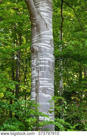 Trunk Of A Beech Tree In A Forest In Springtime With Striped Bark