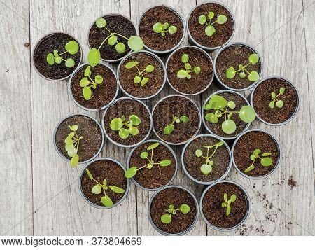 Multiple Propagated Pancake Plant Cuttings In Black Plastic Gardening Pots On A Wooden Table