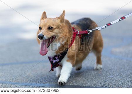 Arlington, Texas, Usa - July 4, 2019: Arlington 4th Of July Parade, Corgi Dog, Being Walked By His O