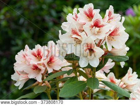 Close Up Image Of Rhododendron Hybrid Amber Kiss (rhododendron Hybride)