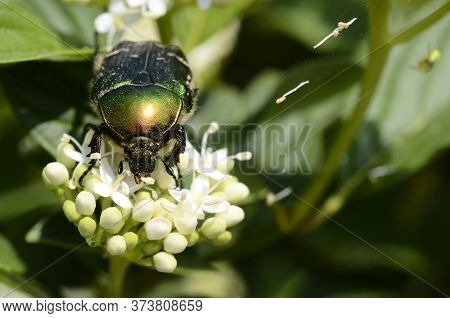 Green Beetle On White Flower, Close Up, Detail Of Insect