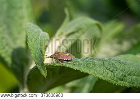 Sloe Bug (dolycoris Baccarum) On A Green Leaf