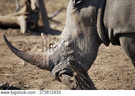 Close-up Of A White Rhino (ceratotherium Simum), Scratching Its Nose. Kruger Park, South Africa