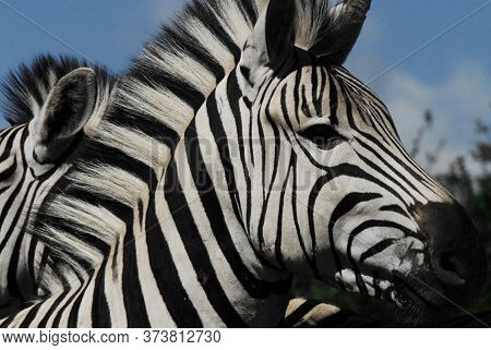 A Beautiful Close Up Of A Wild Zebra's Head With Details Of Mane, Fur And Face.  Photographed While