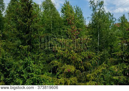 Young Growing Spruce Blossom On A Tip Of Branch Spring, Beautiful New Cones In Spruce