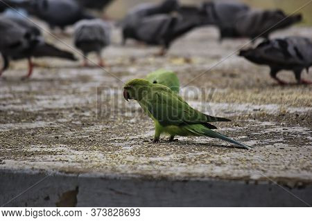 A Green Parrot In A Group Of Pigeon - Odd One In The Crowd
