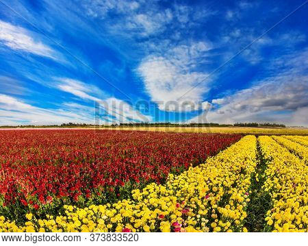South of Israel, spring day. Light clouds in the blue sky. Farmer field of flowering  red and yellow buttercups /ranunculus/. The concept of ecological, rural and photo tourism