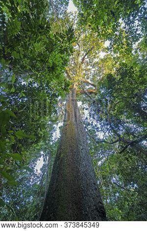 Ancient Brazil Nut Tree In The Amazon Rainforest Near Alta Floresta, Brazil