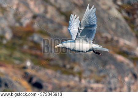 Iceland Gull -larus Glaucoides, Flying At The Port Of Ilulissat, Greenland.