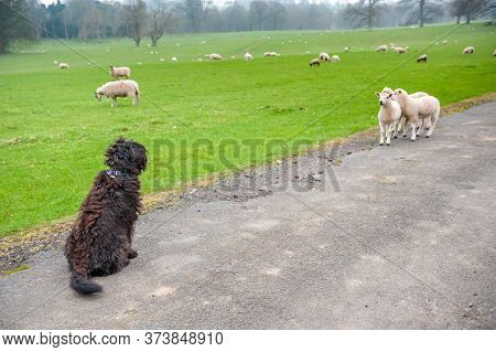 A Shaggy Black Labradoodle Sits And Watches A Group Of Lambs.