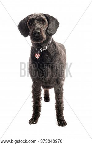 An Inquisitive Black Labradoodle Standing On A White Studio Background.