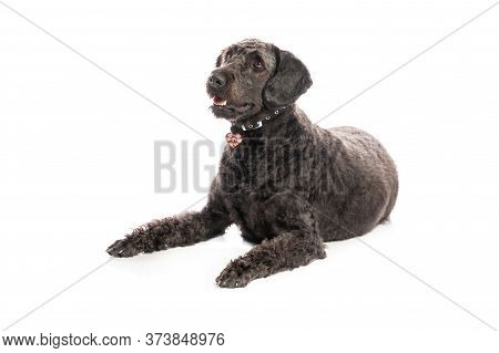 An Inquisitive Black Labradoodle Lay On A White Studio Background.
