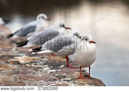 Four Red Billed Gulls In The Ozero Kultuchnoye Lake In Petropavlovsk-kamchatskiy, Russia.