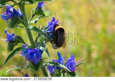 Shaggy Bumblebee Collects Nectar On A Blue Flower. Close-up. Flowering Meadow.